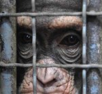 chimps-in-cages