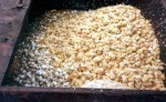 Male chicks in a dumpster behind a hatchery. Small-scale and backyard egg producers buy their hens from hatcheries, which typically drop unwanted male chicks into the trash to smother or starve.