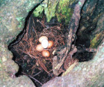 This hollow of another tree, which the hens had to jump up into, was another popular spot.