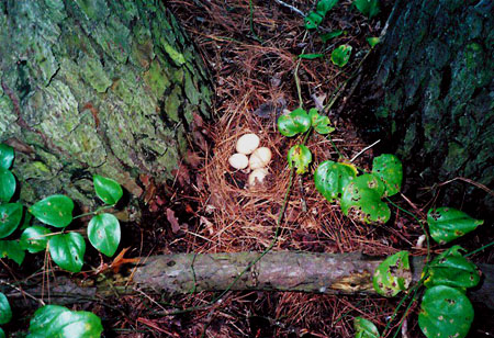 The egg factory refugees soon found apt places to lay their eggs, such as in this nest pine needles at the base of a tree.