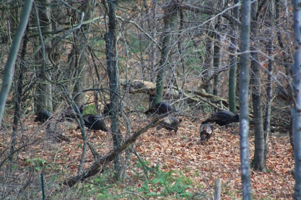 wild turkeys in the woods